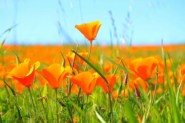 Hình ảnh vé máy bay đi Mỹ ngắm thiên đường hoa poppy