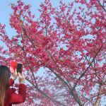 Chiêm ngưỡng sắc hoa anh đào lãng mạn ở Sa Pa