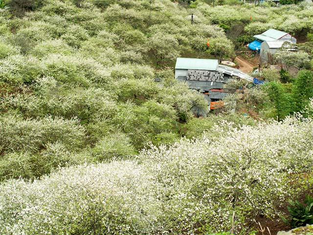 Hình ảnh hoa mận phủ trắng núi đồi Mộc Châu ngày cận Tết