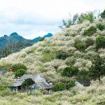 Hoa mận phủ trắng núi đồi Mộc Châu ngày cận Tết