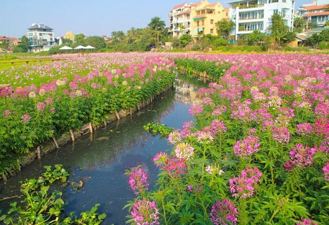 Hình ảnh ngắm cánh đồng hoa túy điệp rực rỡ bên Hồ Tây