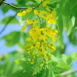 Ngắm hoa Osaka vàng khoe sắc rực rỡ một góc trời