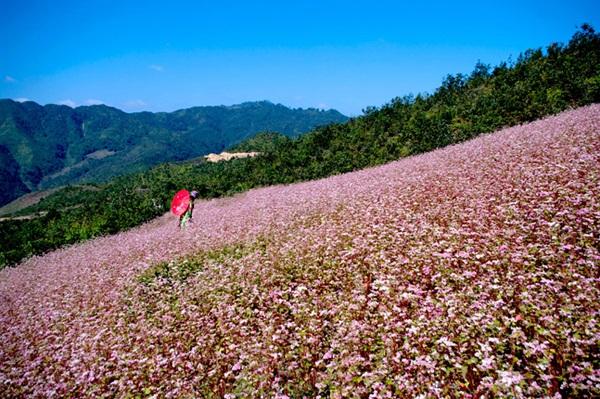 Hoa tam giác mạch trên cao nguyên đá Hà Giang