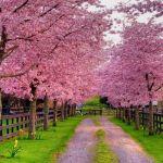 Ngắm hoa mùa xuân trên khắp thế giới