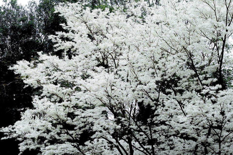 Hoa sưa phủ trắng xóa trên các con đường